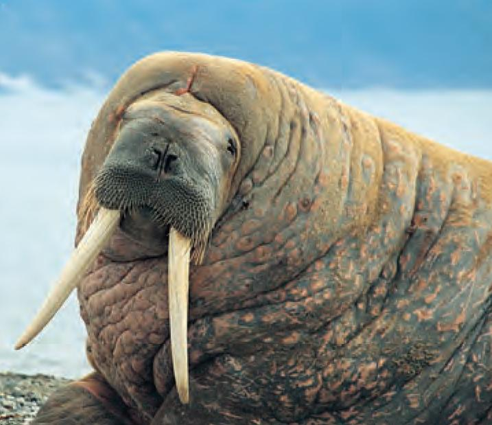 animal facts walrus canadian geographic