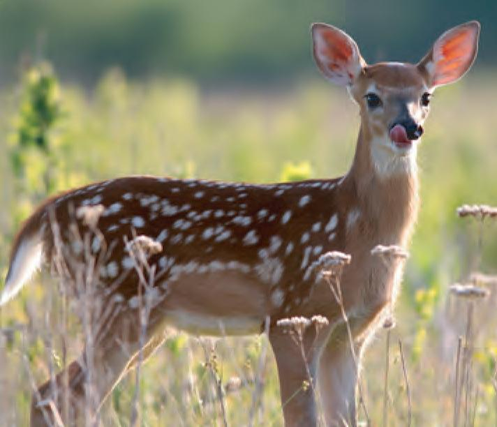 Animal Facts White Tailed Deer Canadian Geographic