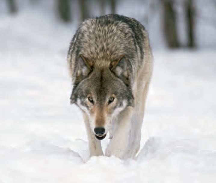Animal Facts Wolf Canadian Geographic