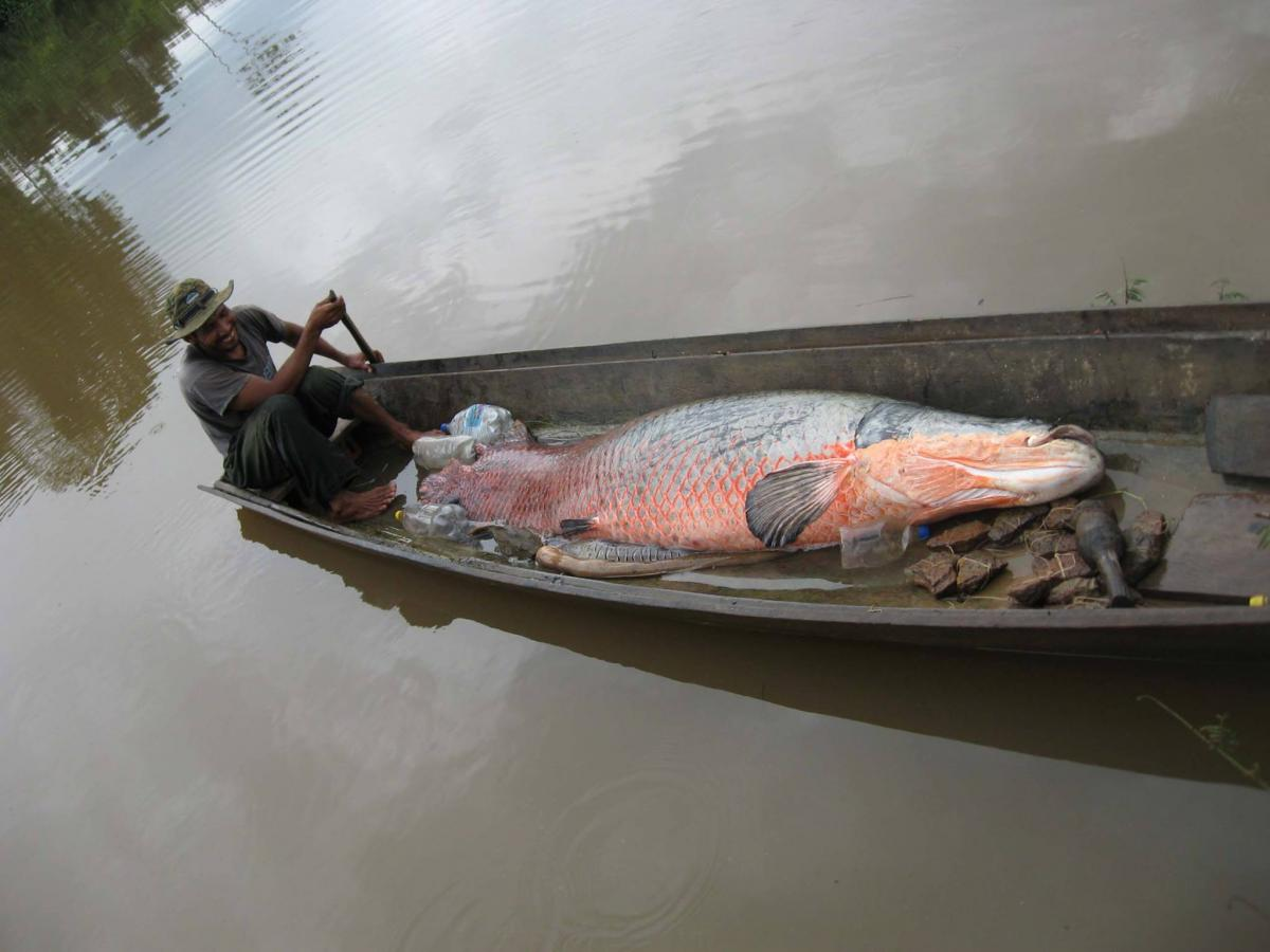 Fish for food canadian geographic for Fish of the amazon