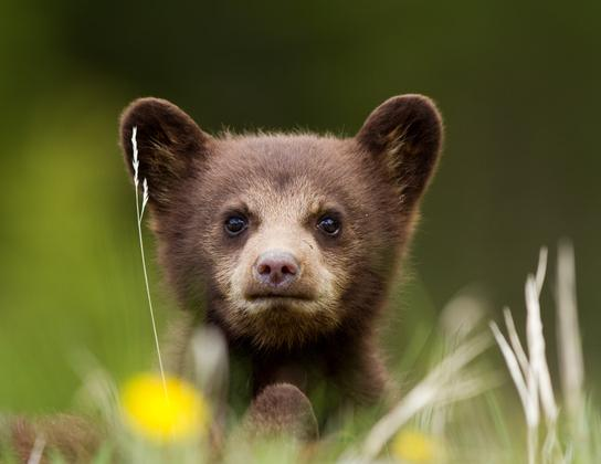 Before they become majestic and dangerous eating machines, bears are adorable. (Photo: Terri Shaddick/Can Geo Photo Club)