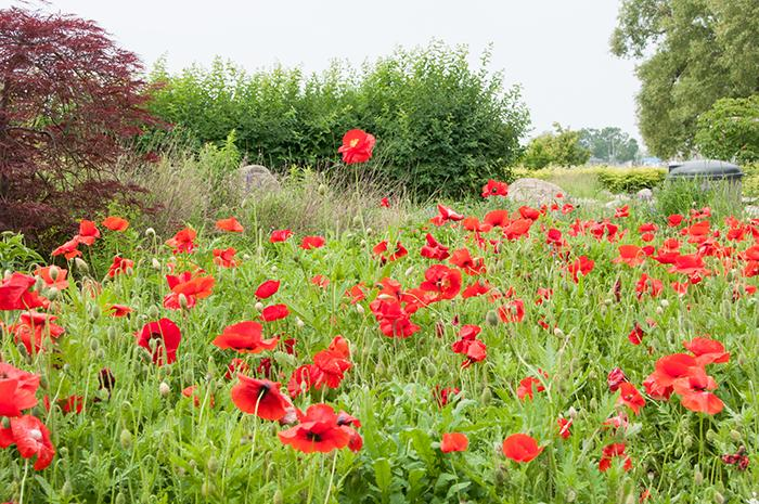 Poppies in Cobourg, Ont