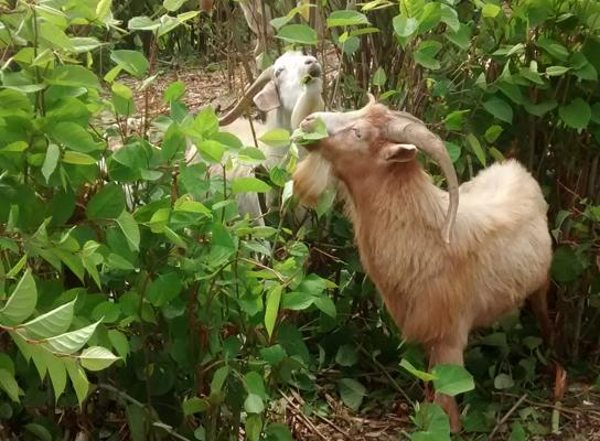 Goats grazing on Japanese knotweed in Chilliwack, B.C.