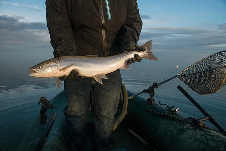Angulalik Pedersen, a Technical Assistant at Polar Knowledge Canada, pulls an Arctic char from a gillnet in Cambridge Bay