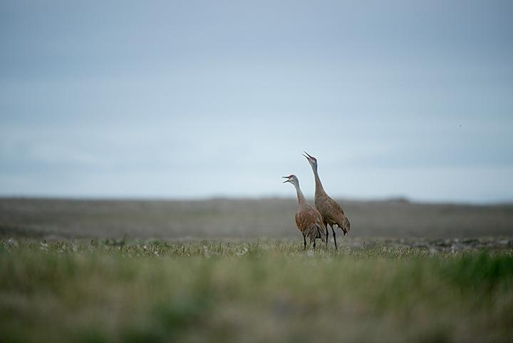 A mated pair of sandhill cranes