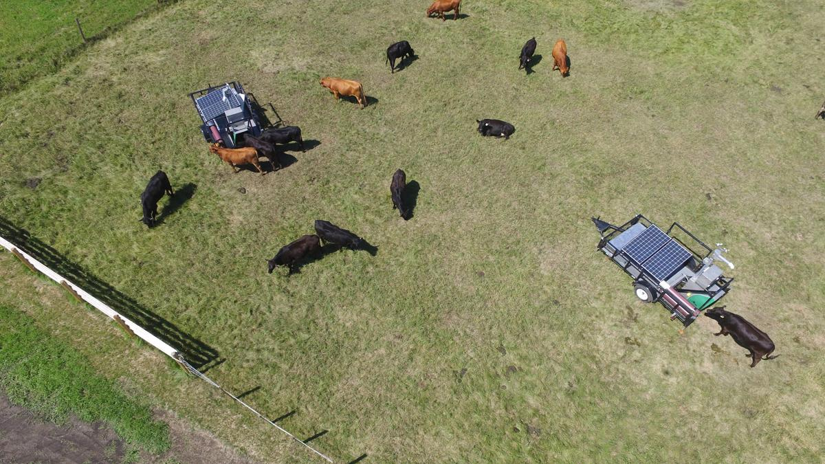 Beef heifers being trained to use two emissions-measuring systems under grazing conditions at the Lacombe Research Centre