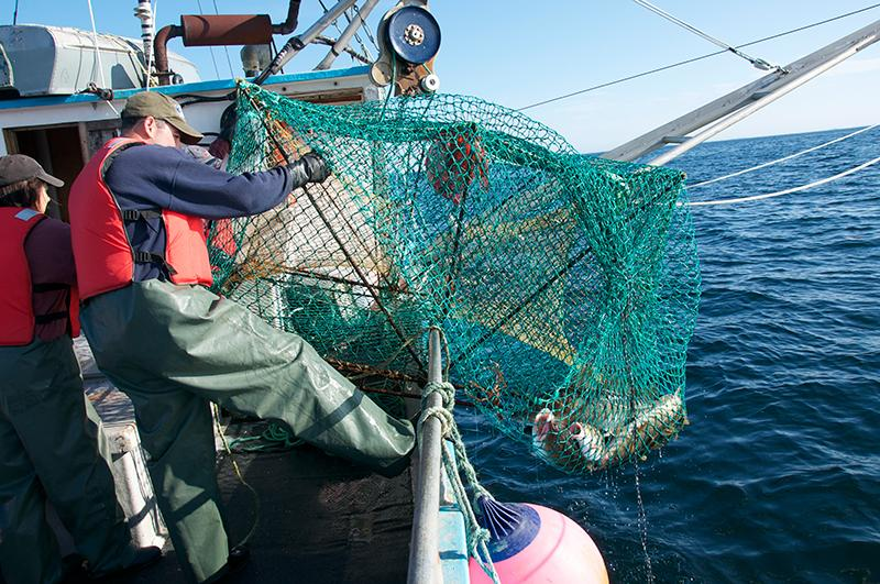 A fisherman holds a cod pot with several cod inside