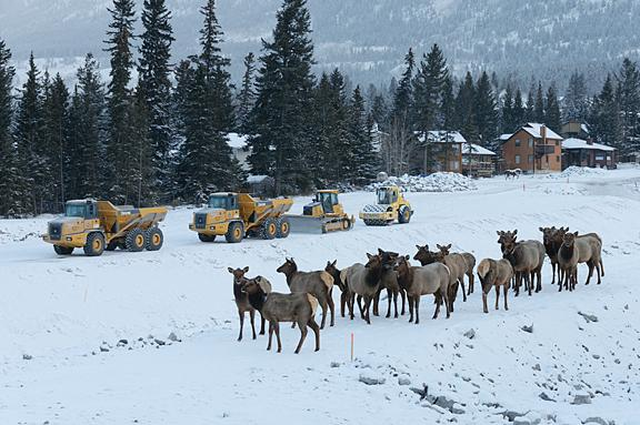Construction vehicles and elk.