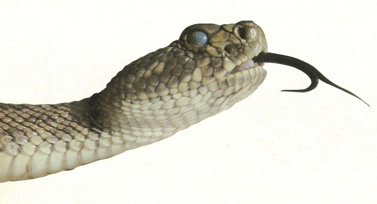 A Prairie rattlesnake