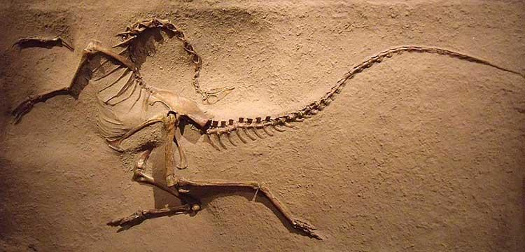 Skeleton of a Struthiomimus altus from Drumheller's Royal Tyrrell Museum