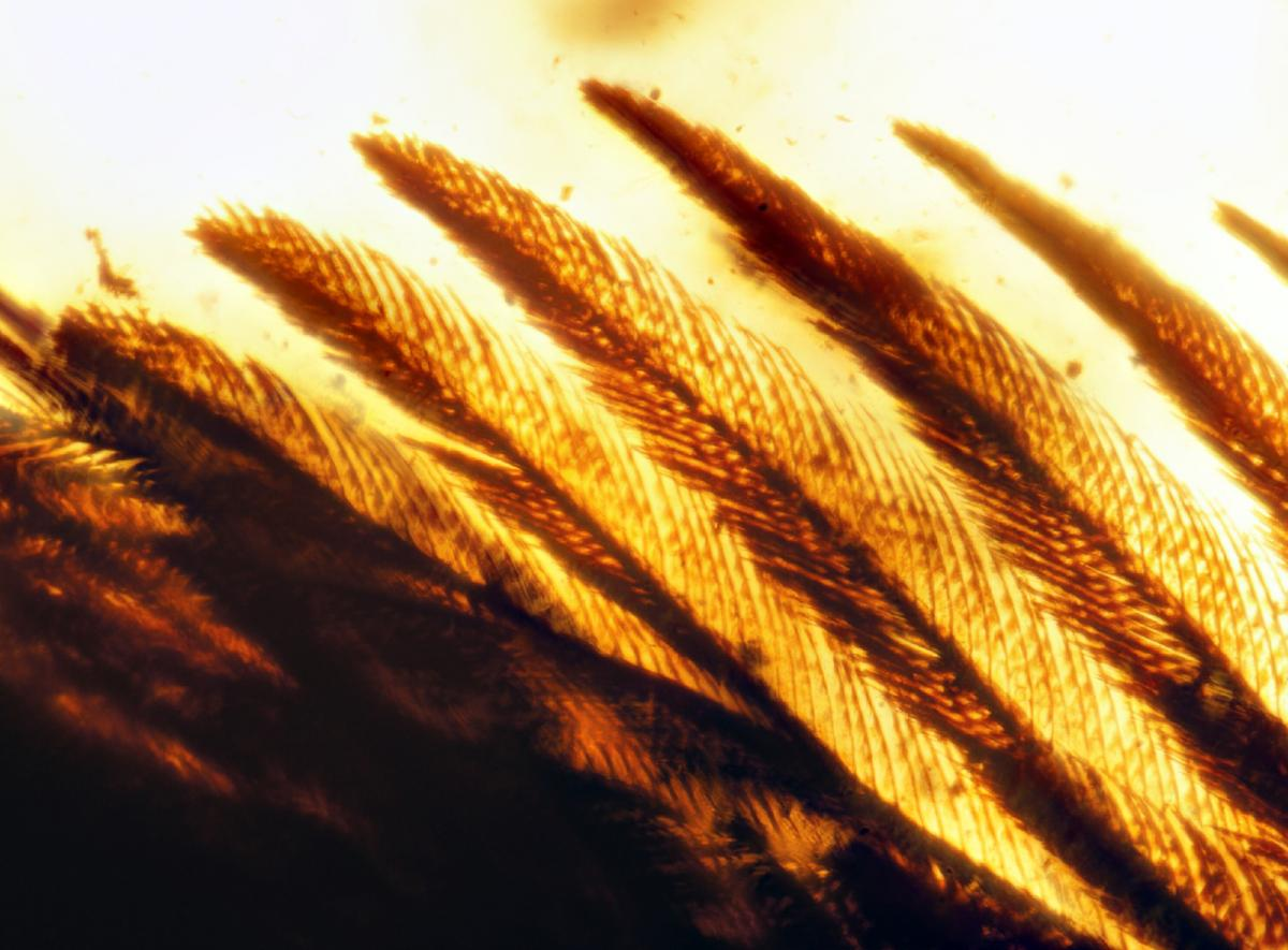 Closeup image of 99-million-year-old bird wings encased in amber, showing feather detail