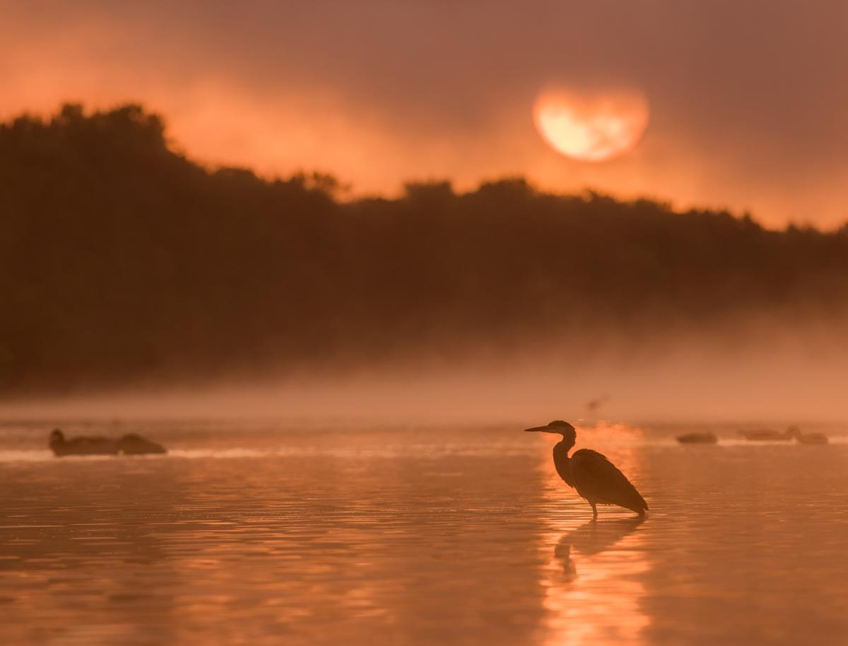 A heron wades in the Ottawa River at dawn