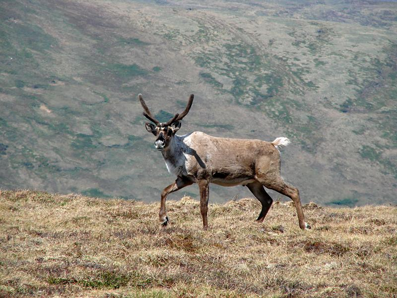 Barren ground caribou roaming near Eagle Summit, Alaska