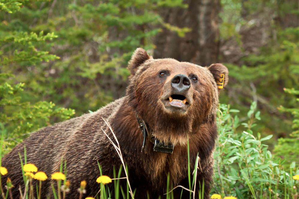 tagged Bear 122 in Banff