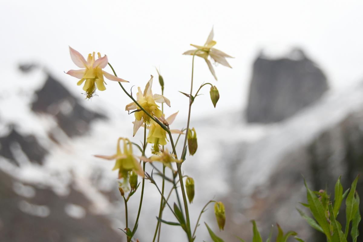 A bouquet of glacier lilies stands gracefully against the striking backdrop of the Hound's Tooth rising high from the Bugaboo Glacier