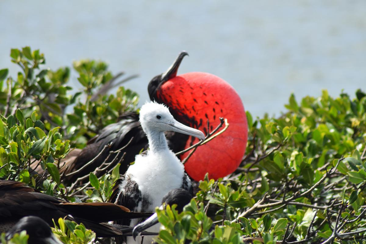 Magnificent frigatebirds in Barbuda's mangroves