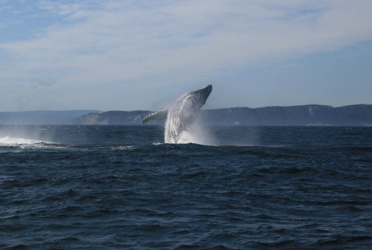 A humpback whale breaches off the Gaspé peninsula