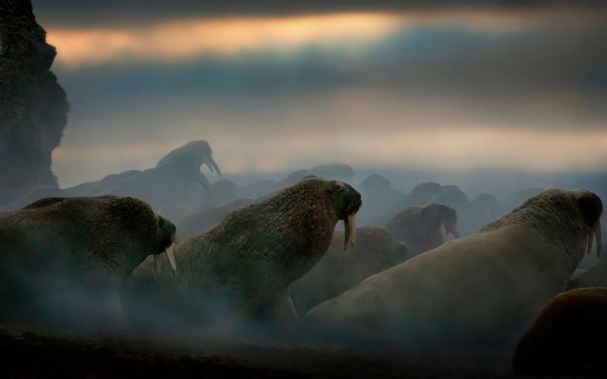 walrus nunavut hall beach