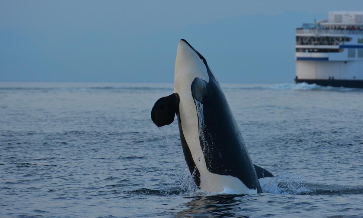 "J-2 ""Granny"" orca whale"
