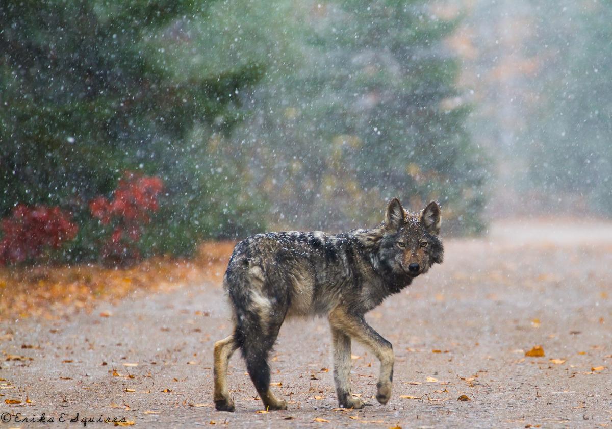 algonquin park wolf