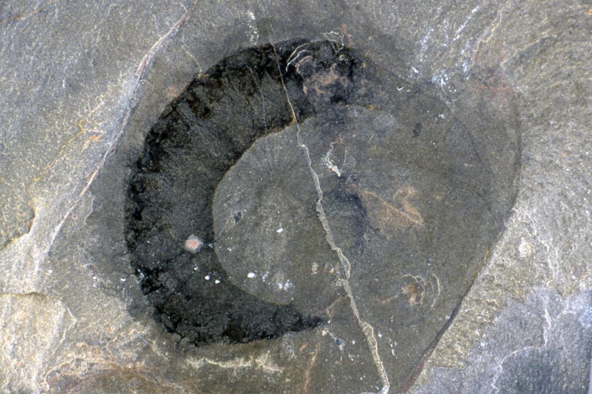Eldonia ludwigi burgess shale