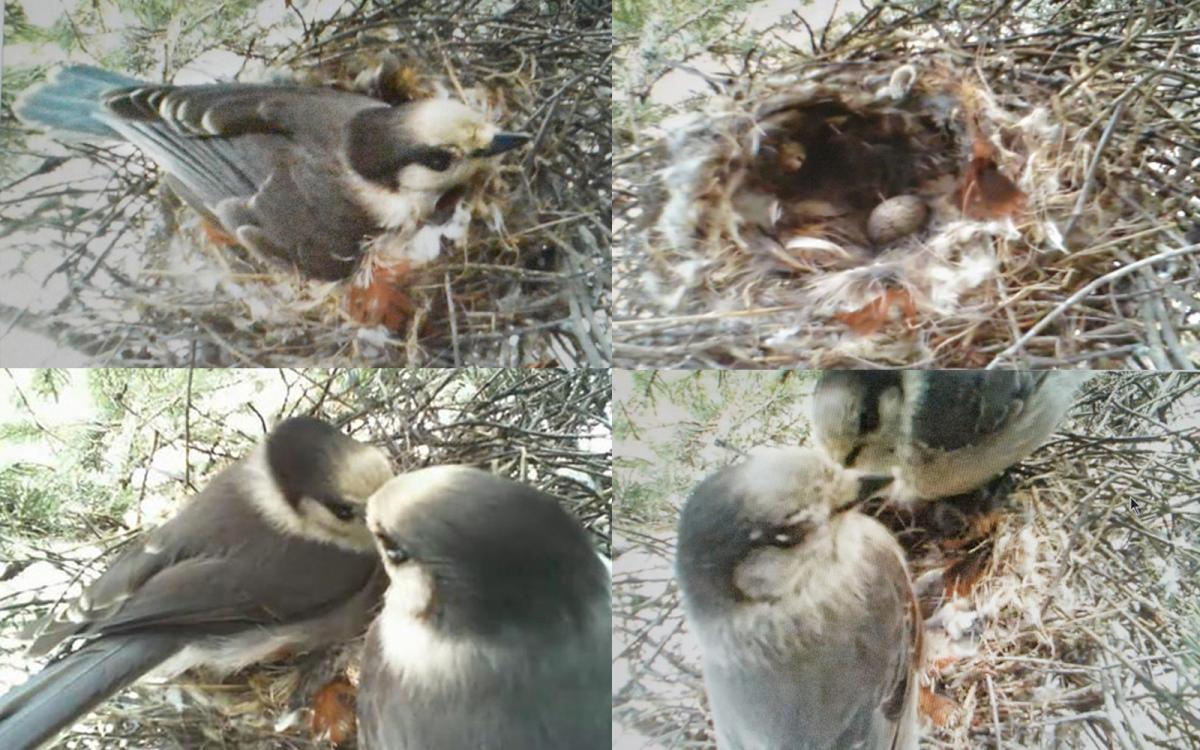 Still images from a livestream of a grey jay nest