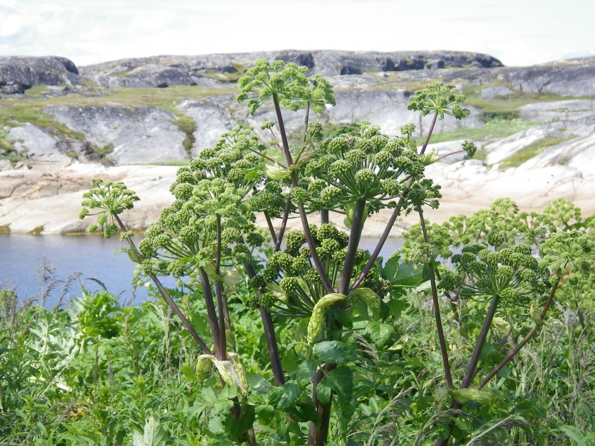 Purple-stemmed Angelica growing near Makkovik, in Labrador