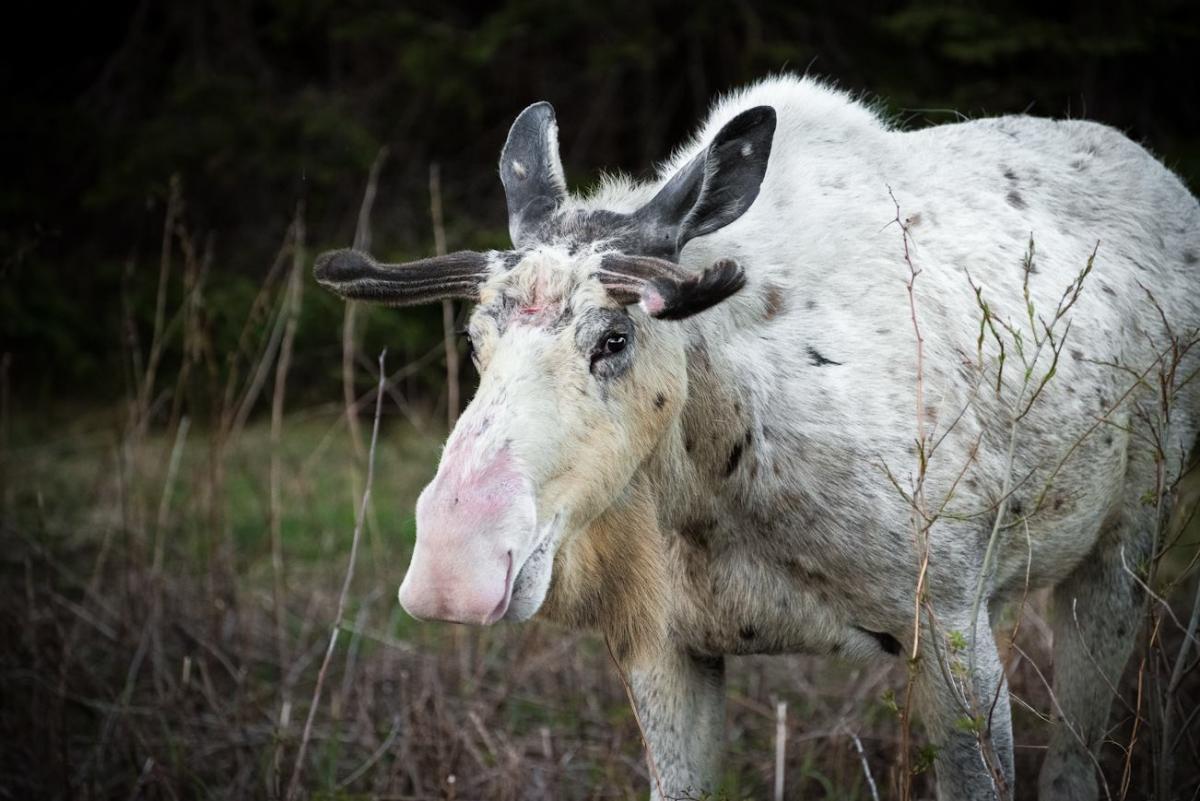 piebald moose Newfoundland photography