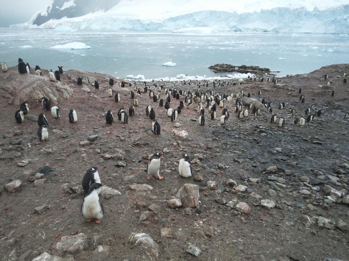 penguins, antarctica, south pole, glacier