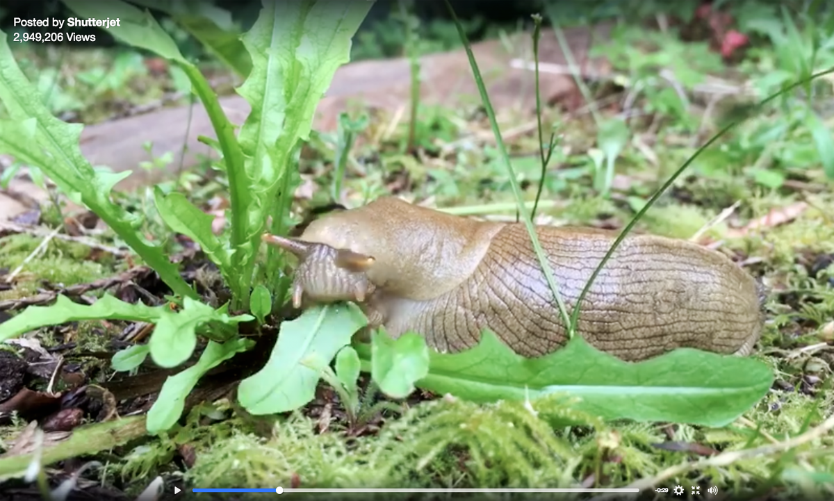 Banana slug, video of the week, time-lapse, British Columbia, Canada, wildlife
