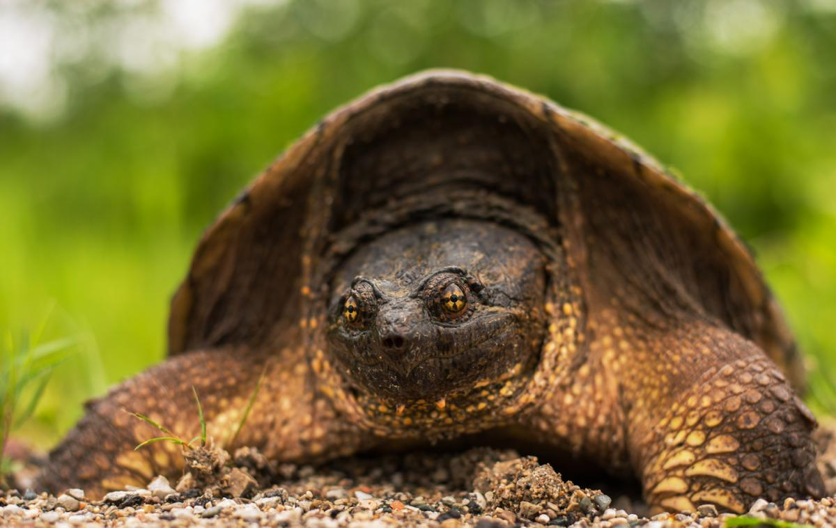 Snapping turtle by roadside