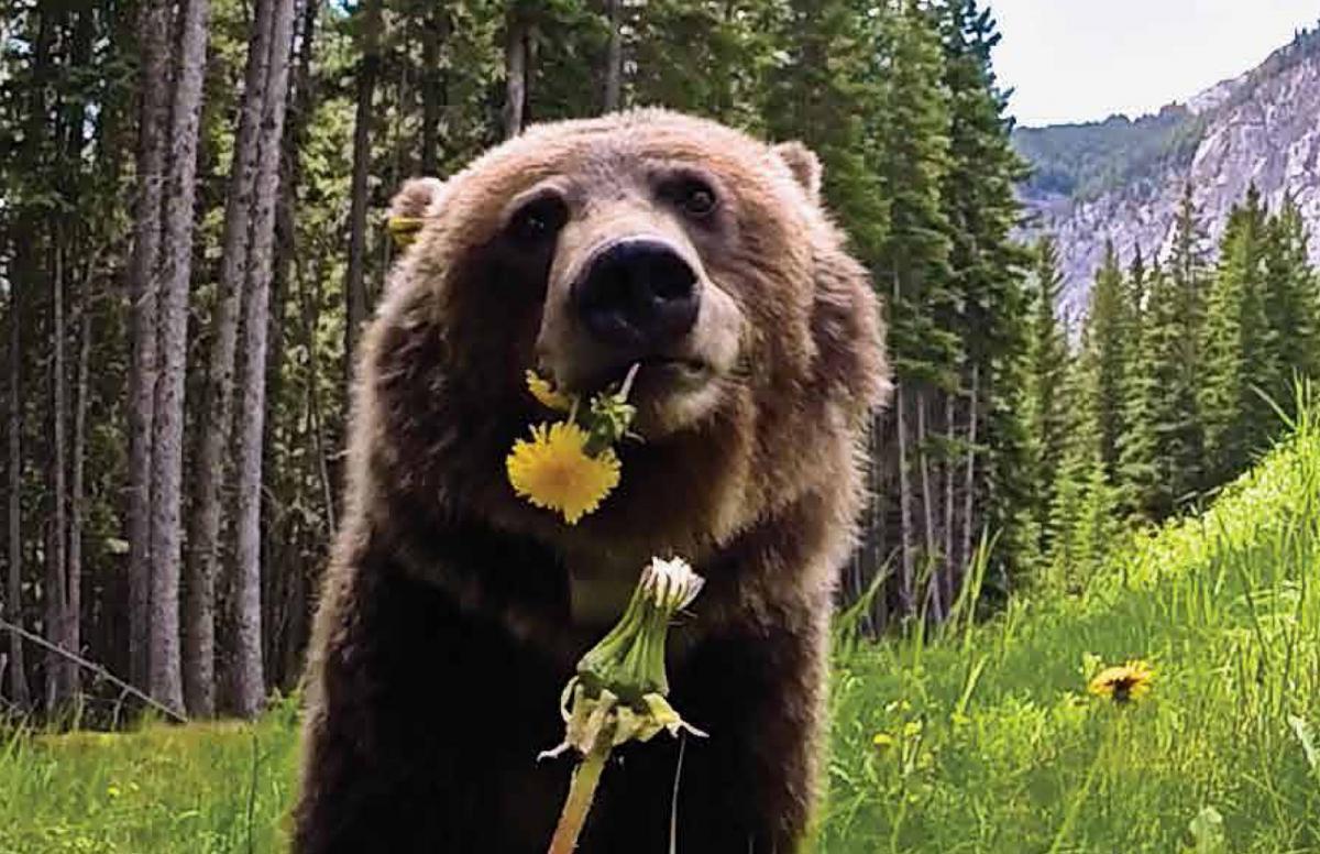 bear 148 in banff national park
