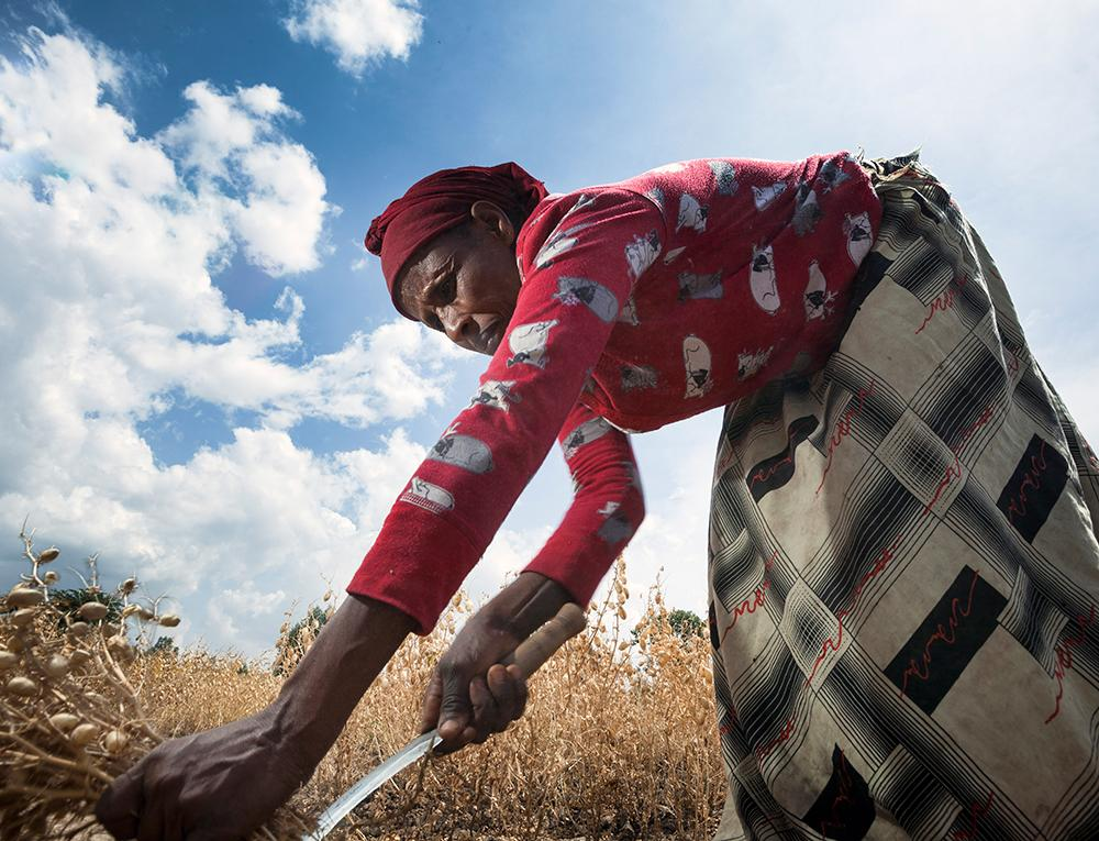 Sefiya Heliso harvests chickpeas in southern Ethiopia. Heliso is participating in a project that is encouraging people to grow and eat pulses such as chickpeas to help improve food security in the country