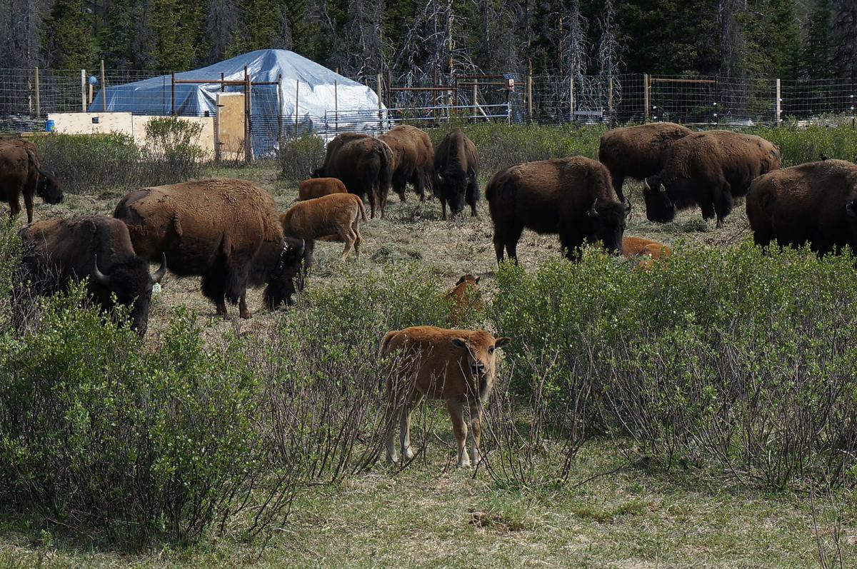 Plains bison with their calves in banff national park