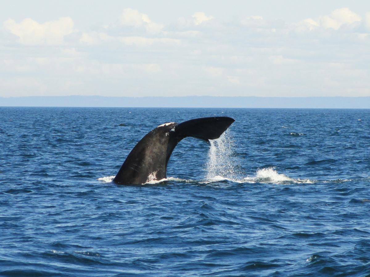 North Atlantic right whale in Gulf