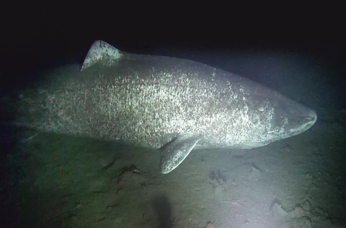 A large female Greenland shark observed near the community of Arctic Bay, Nunavut