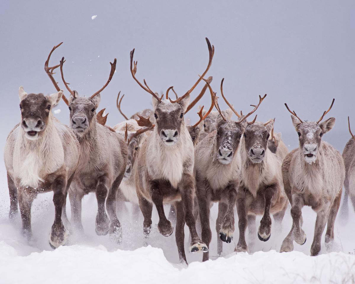 Startled by a passing vehicle, a herd of caribou stampede towards the camera