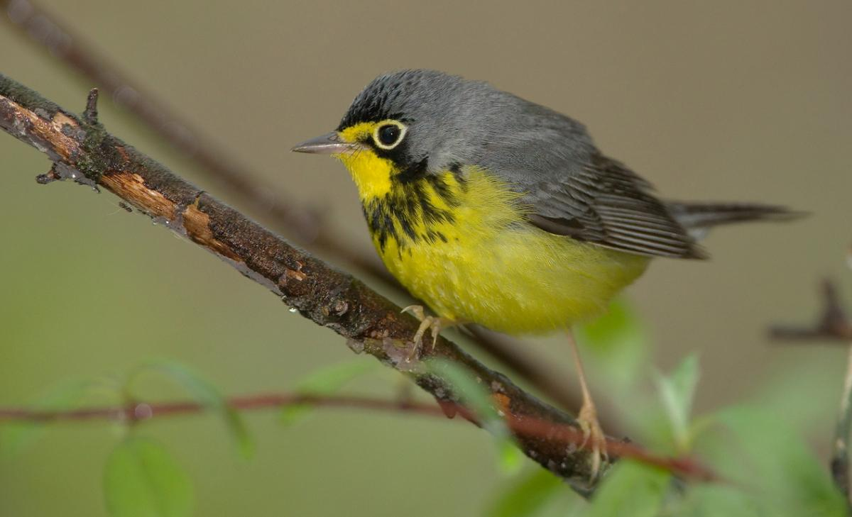 A male Canada warbler