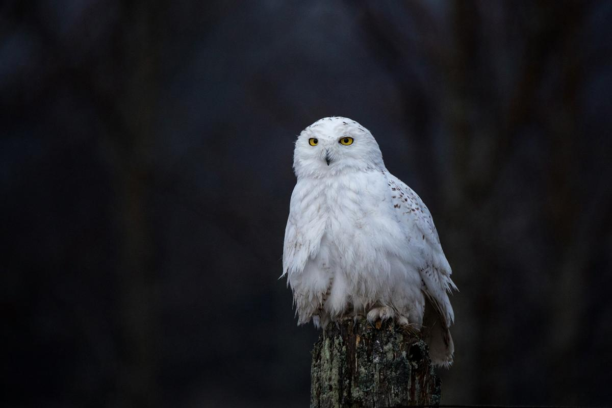 A snowy owl sits on a fencepost