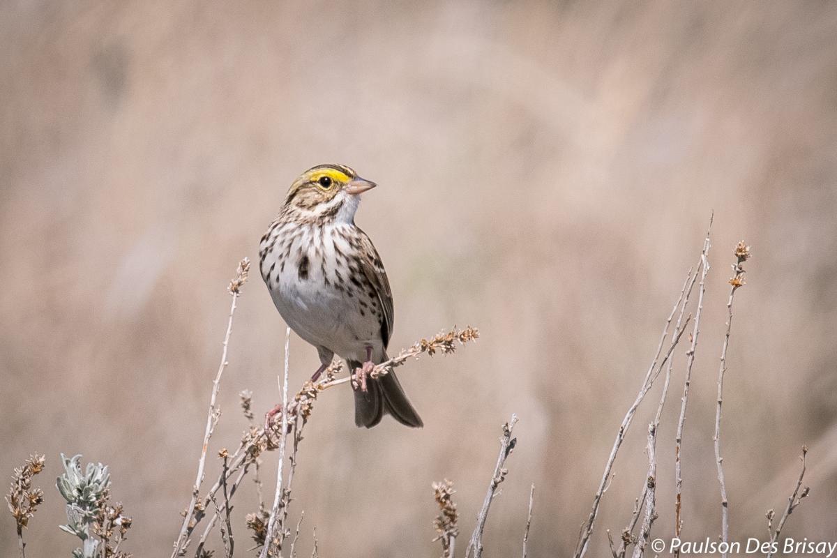 A savannah sparrow
