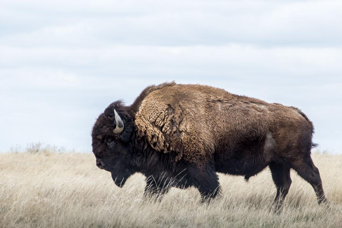 A male bison who refused to stay in his pen near Lorette, Man. has been immortalized in song. Pictured: not the real Freddy—but look at that determined stride! (Photo: Nicole Lauren/Can Geo Photo Club)
