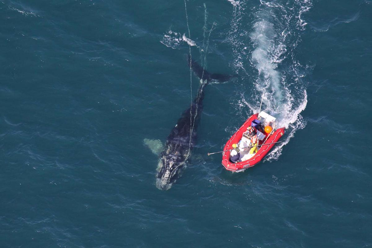 Scientists from the U.S. National Oceanic and Atmospheric Administration approach a young North Atlantic right whale entangled in fishing gear near Cape Canaveral. (NOAA Photo Library/flickr), CC BY-SA