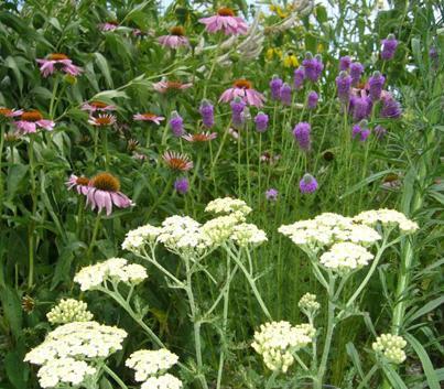 Elegant Yarrow, Echinacea, Prairie Clover, And Ratibida Are Effective At Attracting  Butterflies.