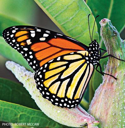 monarch butterfly endangered species canadian geographic