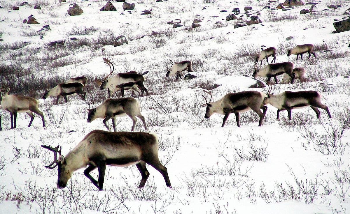 Des caribous de la harde de caribous de Bathurst, fortement menacée, franchissent une colline rocheuse dans le centre des Territoires du Nord-Ouest.