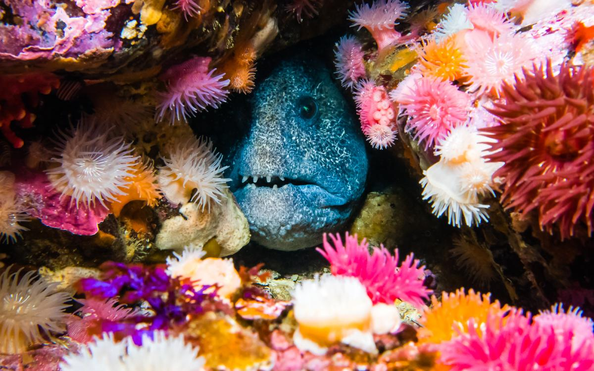 Wolf eel (anarrhichthys ocellatus) surrounded by brooding anemones, Race Rocks Ecological Reserve, Vancouver Island, B.C.