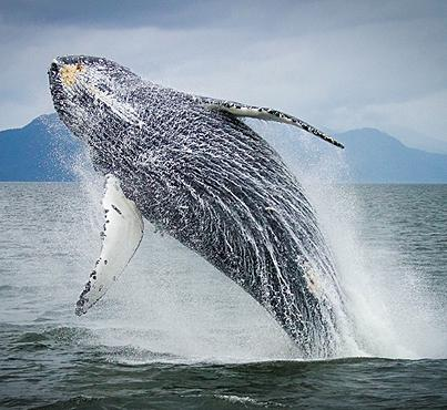 Humpback whales are believed to number more than 20,000 in the North Pacific, with at least 2,145 of those calling coastal waters in British Columbia home