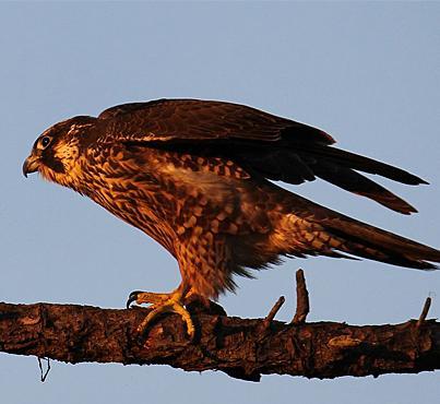 Peregrine falcons are making a comeback in North America.