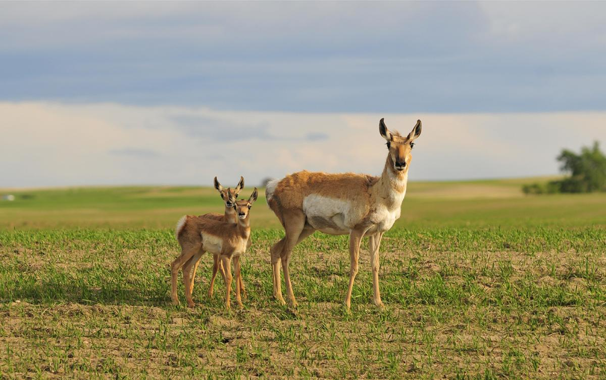 A female pronghorn with her twins on the Canadian prairie. The species is hailed as a conservation success story, but its future is uncertain. (Photo: Sandra Forbes)