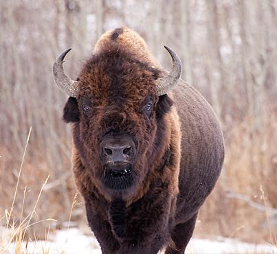 A 1957 discovery in Wood Buffalo National Park helped save the purity of the wood bison species